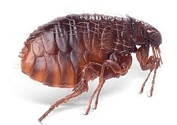 fleas are part of the pest inspection